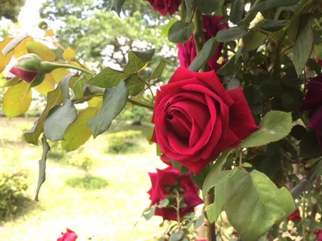 赤バラ、黄バラ、トンネルの外をのぞく