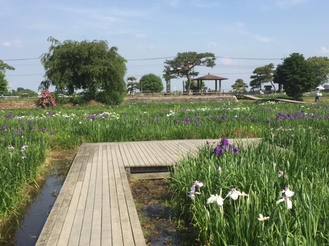 菖蒲城址あやめ園のハナショウブと庭のオリエンタルリリー開花情報