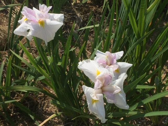 白、紫の縁取り白のハナショウブ