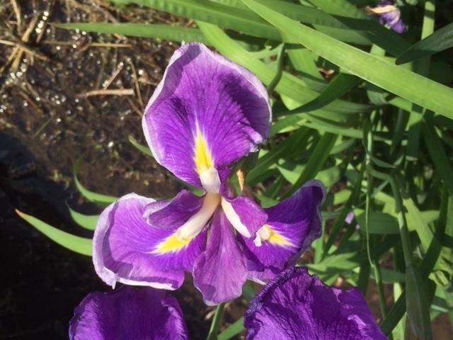 紫、薄紫のハナショウブ