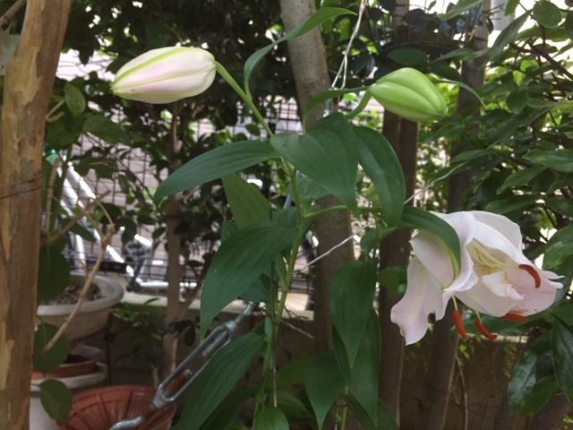 4つの蕾が順番に咲いたオリエンタルリリー