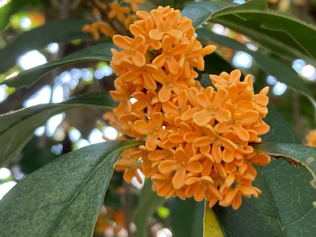 キンモクセイは二度咲く~初めて二度咲気に遭遇は異常気象のせい?