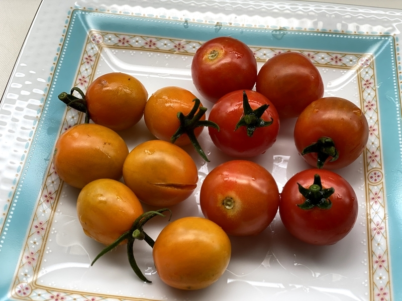 お庭で採れたミニトマト