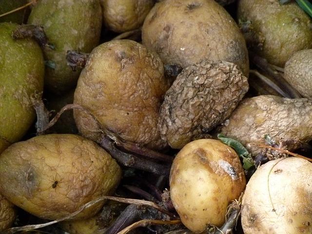 rotten potates