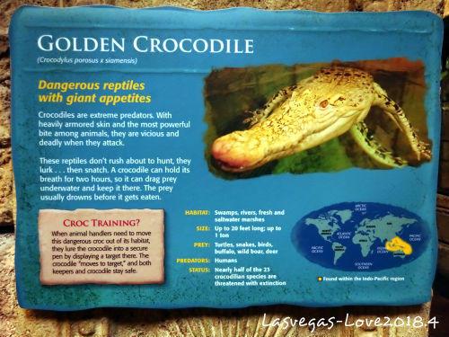 説明 Crocodylus porosus x siamensis
