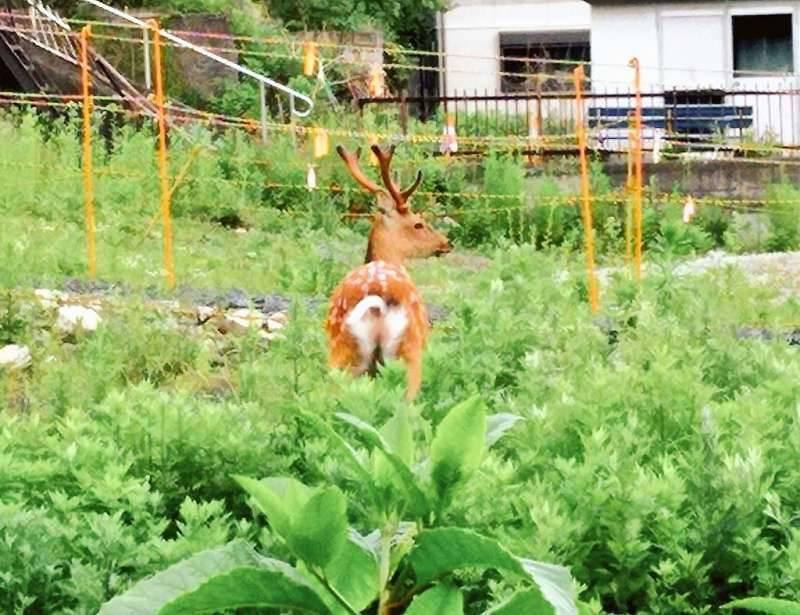 釜石市に出没する鹿