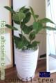 [フィカス][観葉植物][名古屋市名東区一社][花屋][配達][le Soleil][フラワーショップ]フィカスアルティシマ