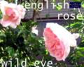 [イングリッシュローズ][名古屋市名東区一社][ガーデニング][花屋]イングリッシュローズ・ハーブガーデン