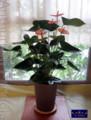 [アンスリウム][開店][お祝花][名古屋市名東区一社]アンスリウム「パンドラ」