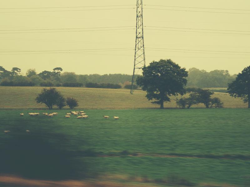 イングランドの羊
