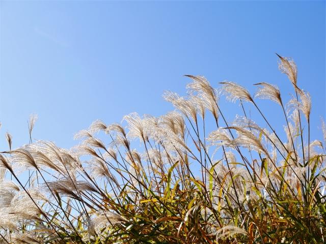 秋の七草 ススキ