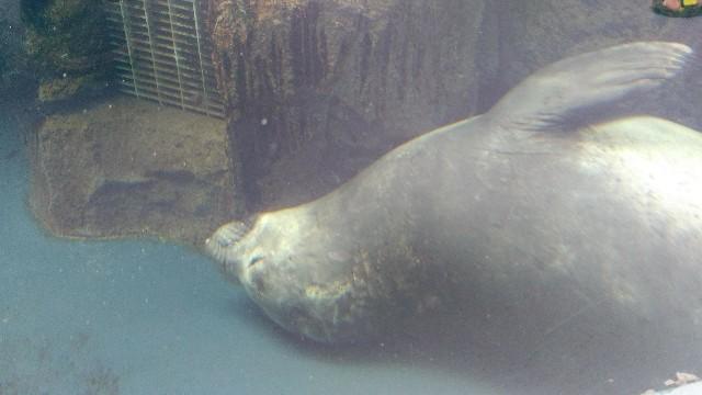 加茂水族館でお昼寝中のアザラシ