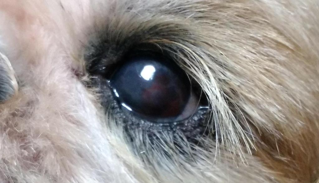 犬の目の傷にタチオン