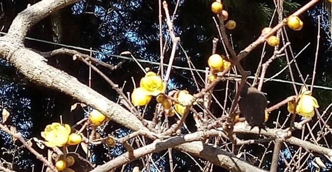 羽黒山神社の蝋梅