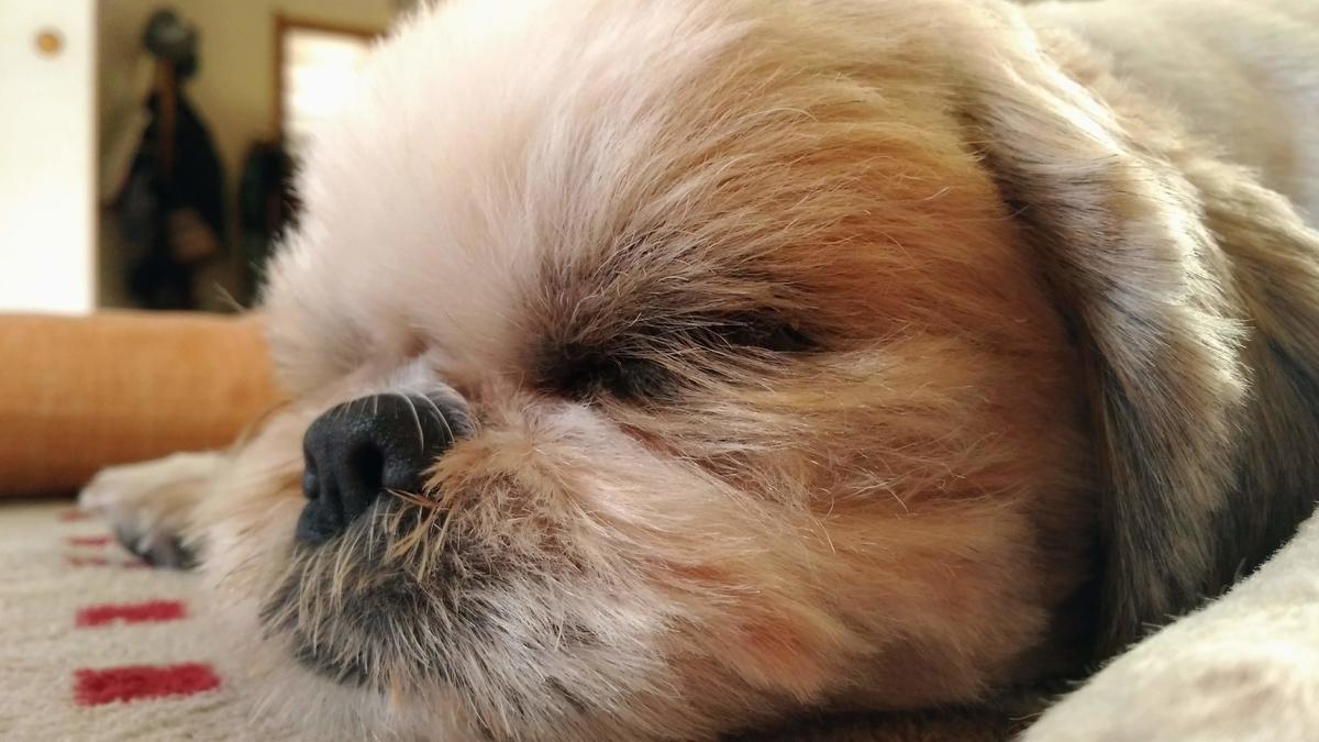 シーズー 寝顔