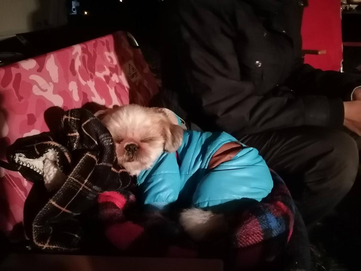 ふもとっぱら キャンプ キャンピングトレーラー ペット シーズー キャンプ犬