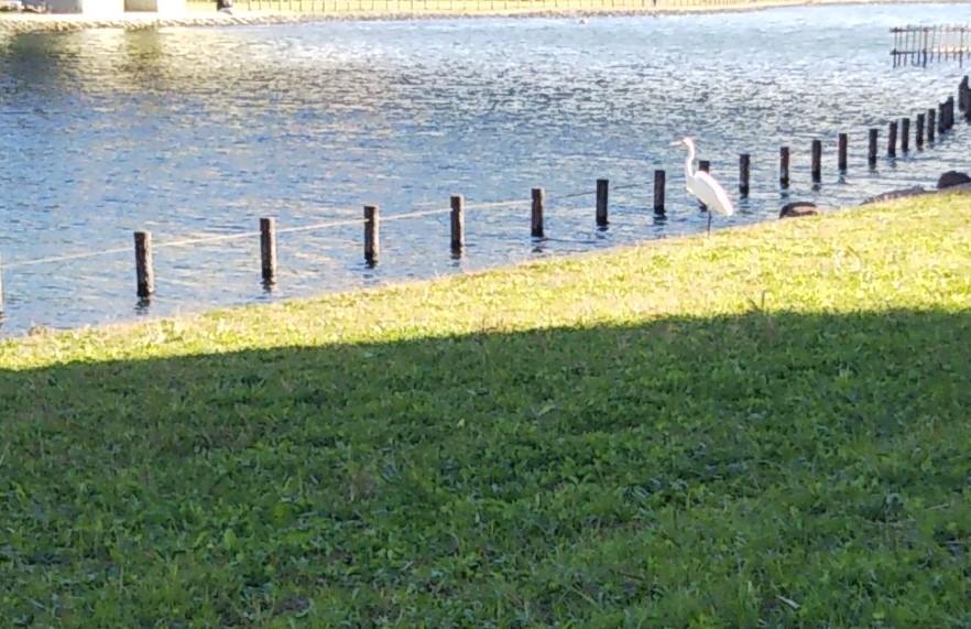 白い水鳥が河川敷の川近くにいる様子。