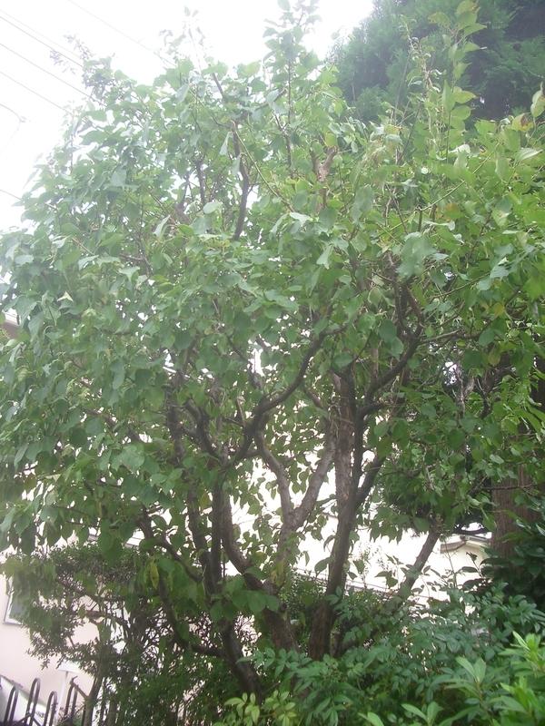 木 の 剪定 梅 の