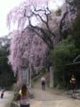 青梅市 梅岩寺の枝垂桜