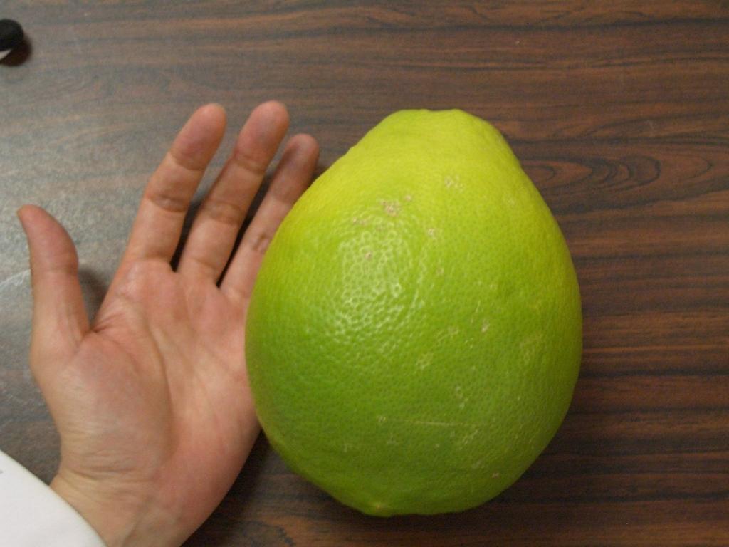 漢方薬を煎じたあとに、肥料としてレモン木にあげたら、とんでもない大きなレモンが取れた