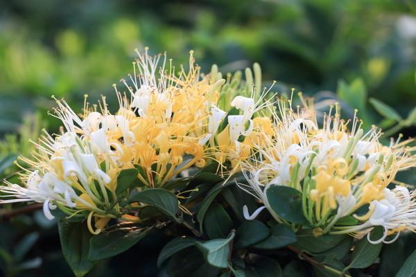 金銀花:消炎鎮痛作用がある生薬。お茶として飲んでも良い。
