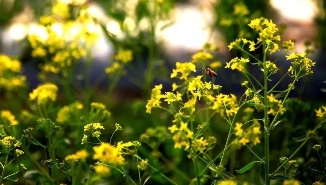 板藍根は正統派の中医学で使わないけど、花はきれいですね~