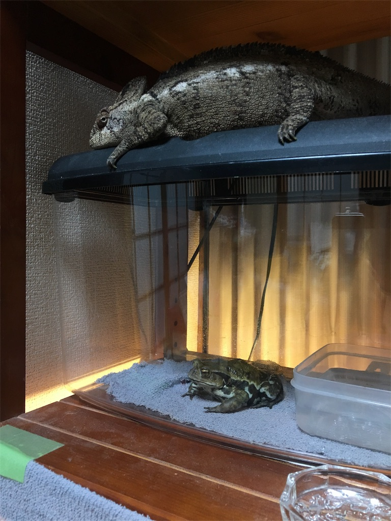 f:id:life-with-reptiles:20170829065611j:image