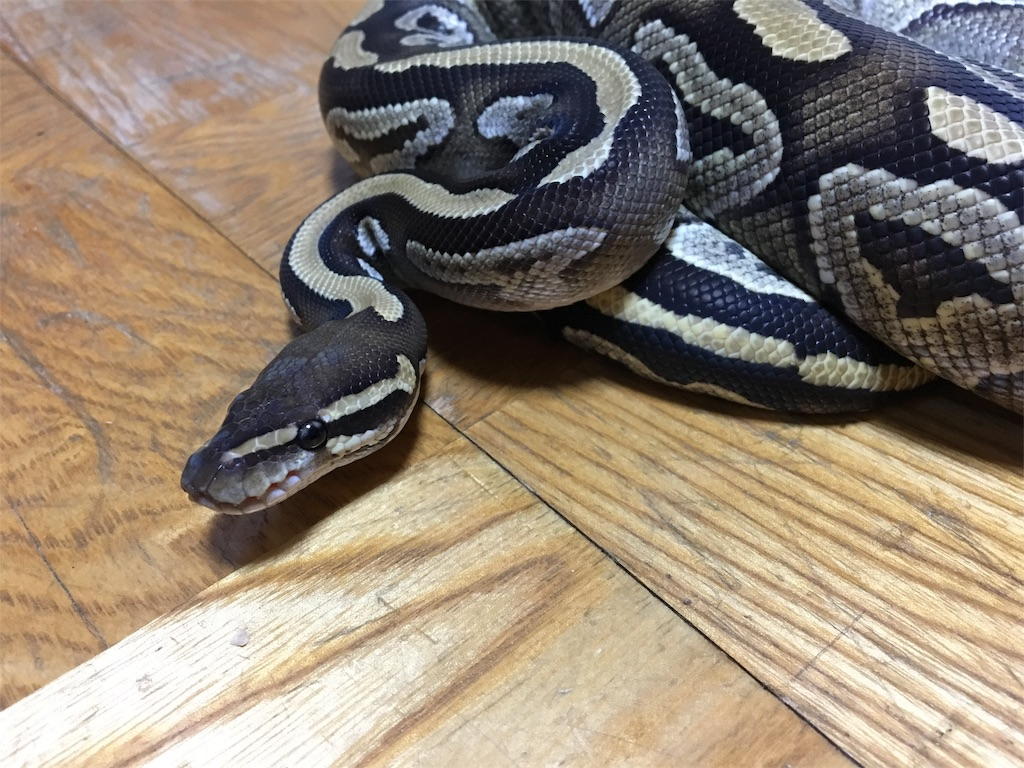 f:id:life-with-reptiles:20171204100909j:image