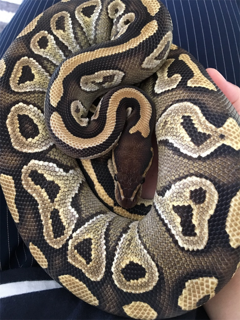 f:id:life-with-reptiles:20171204105930j:image