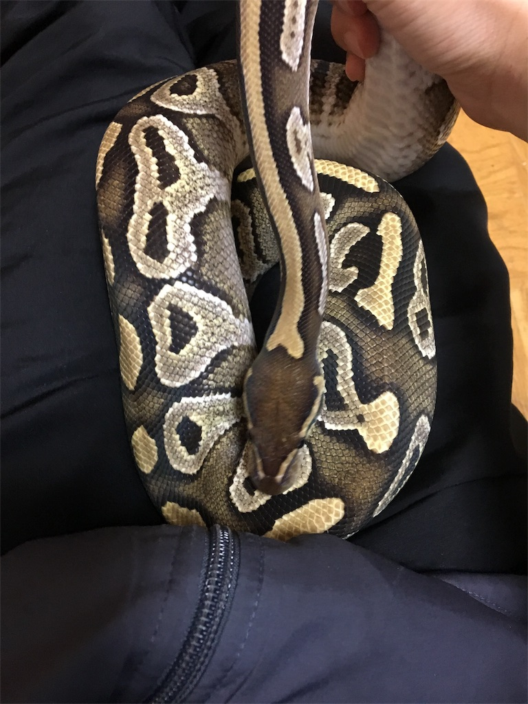 f:id:life-with-reptiles:20180129084933j:image