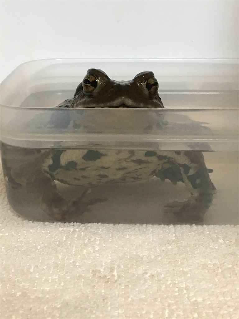 f:id:life-with-reptiles:20180415104518j:image