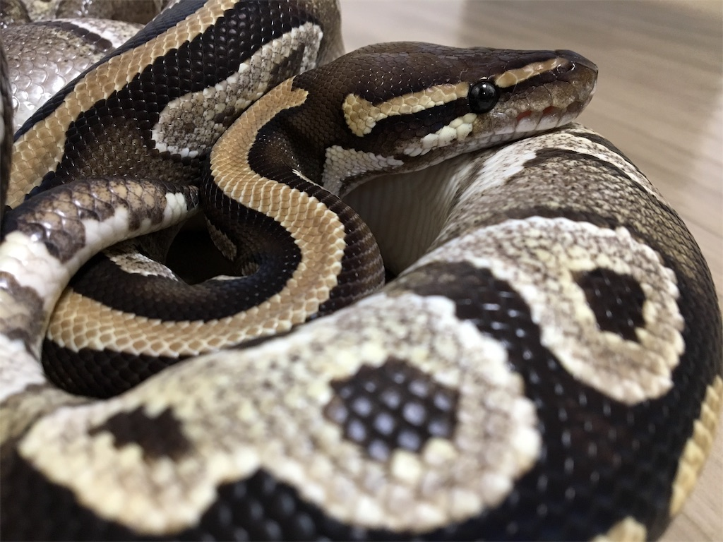 f:id:life-with-reptiles:20181223114751j:image