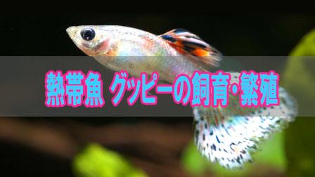 「熱帯魚グッピーの飼育・繁殖」イメージ