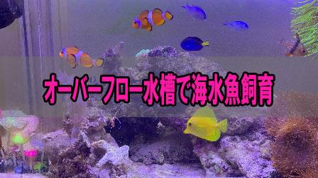 「ーバーフロー水槽で海水魚飼育」イメージ
