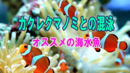 「カクレクマノミとの混泳【オススメの海水魚】」イメージ