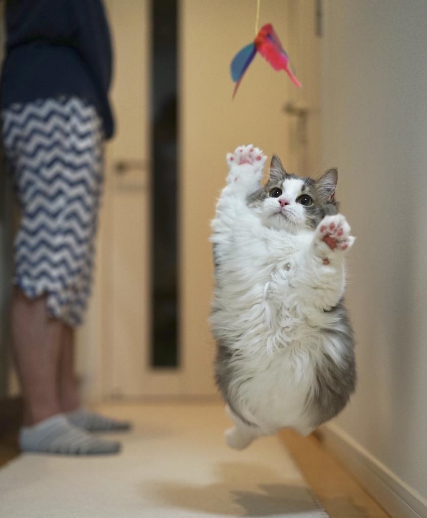 おもちゃに向かってジャンプする猫