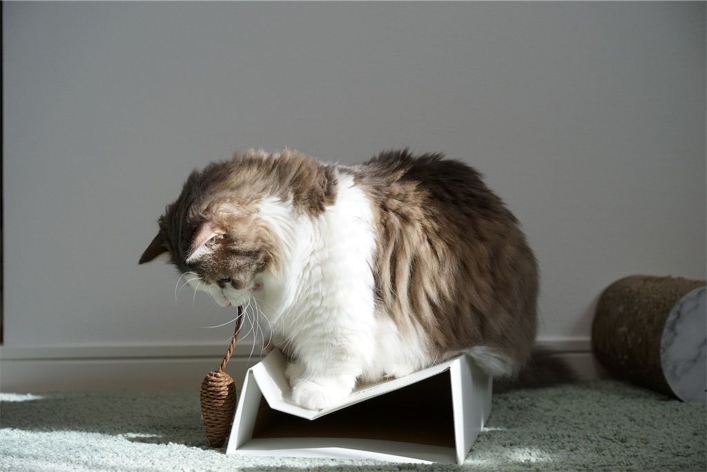 ネズミのオモチャで遊ぶ猫1