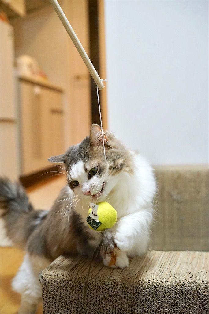 ネコじゃらしで遊ぶ猫2