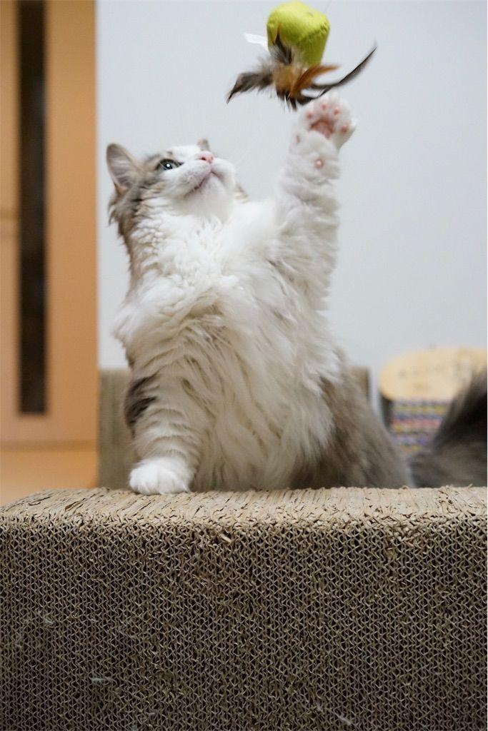 ネコじゃらしで遊ぶ猫4
