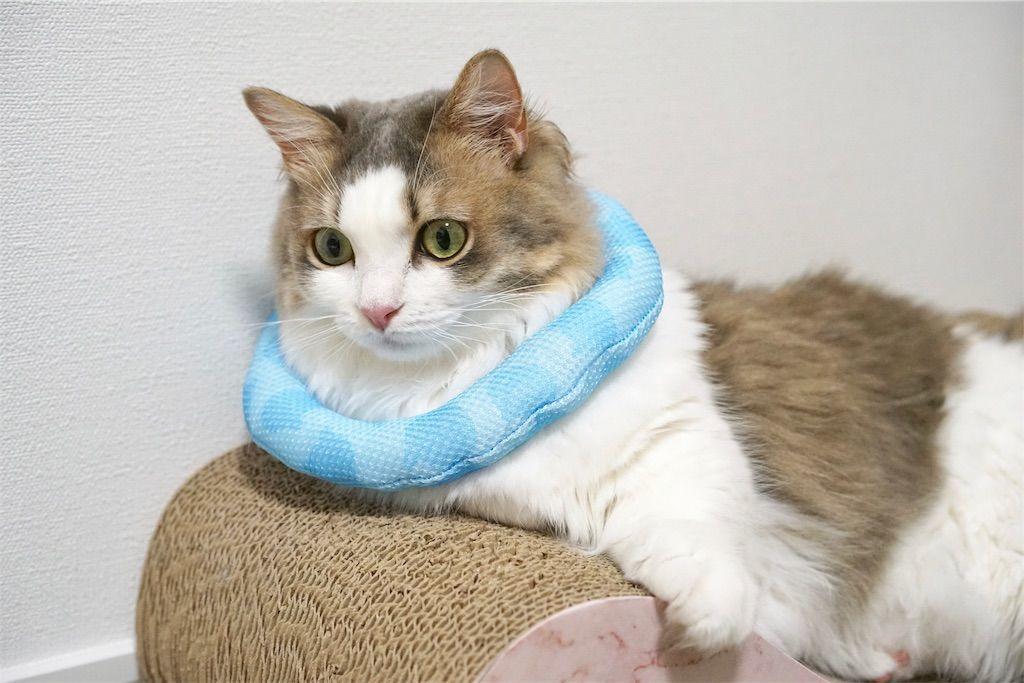 猫の首におもちゃを巻く