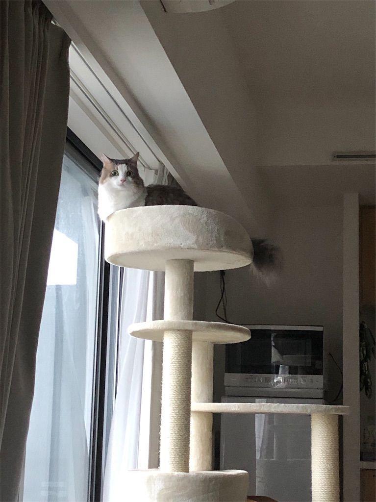 早速キャットタワーに乗る猫
