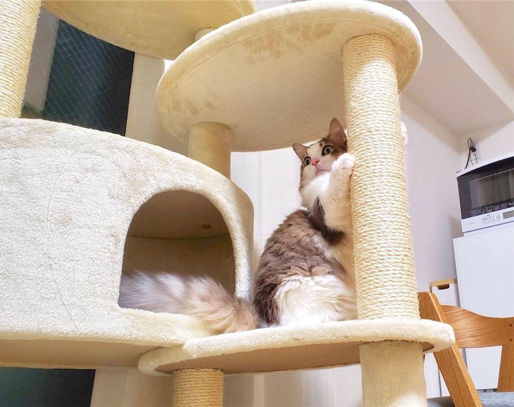 キャットタワーで爪とぎする猫