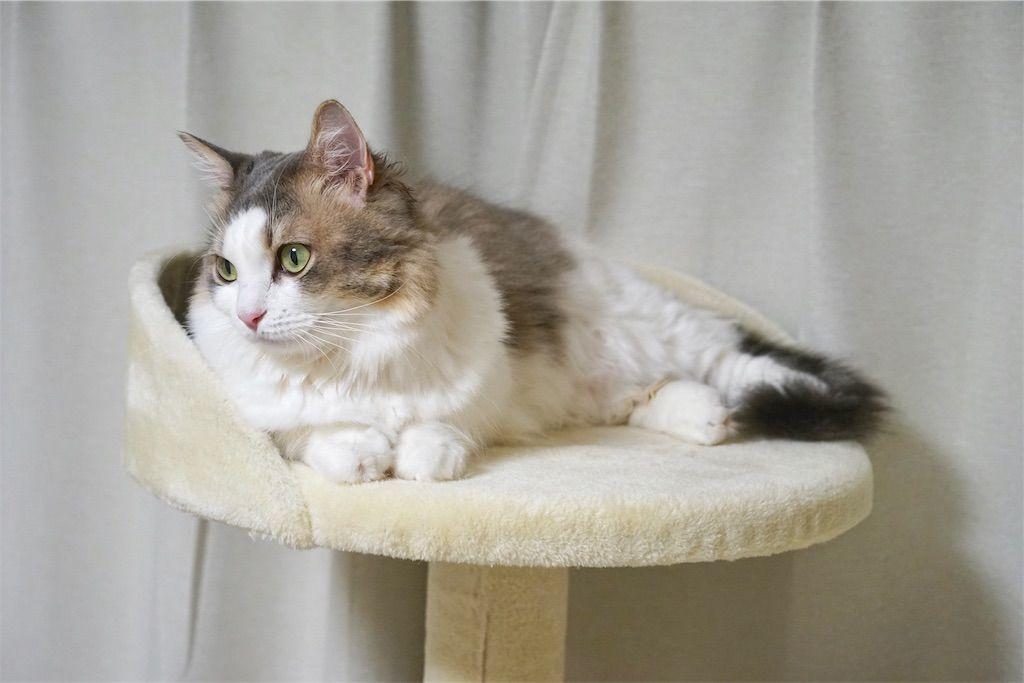 キャットタワーのベッドスペースでくつろぐ猫