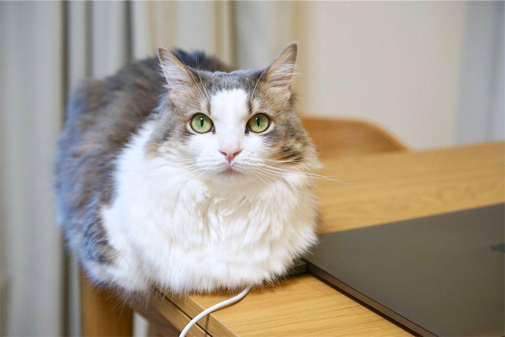 パソコンの横に座る猫