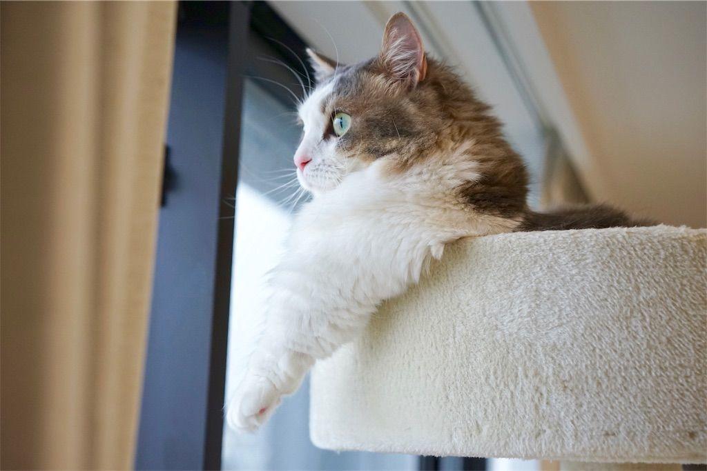 キャットタワーの上から景色を眺める猫