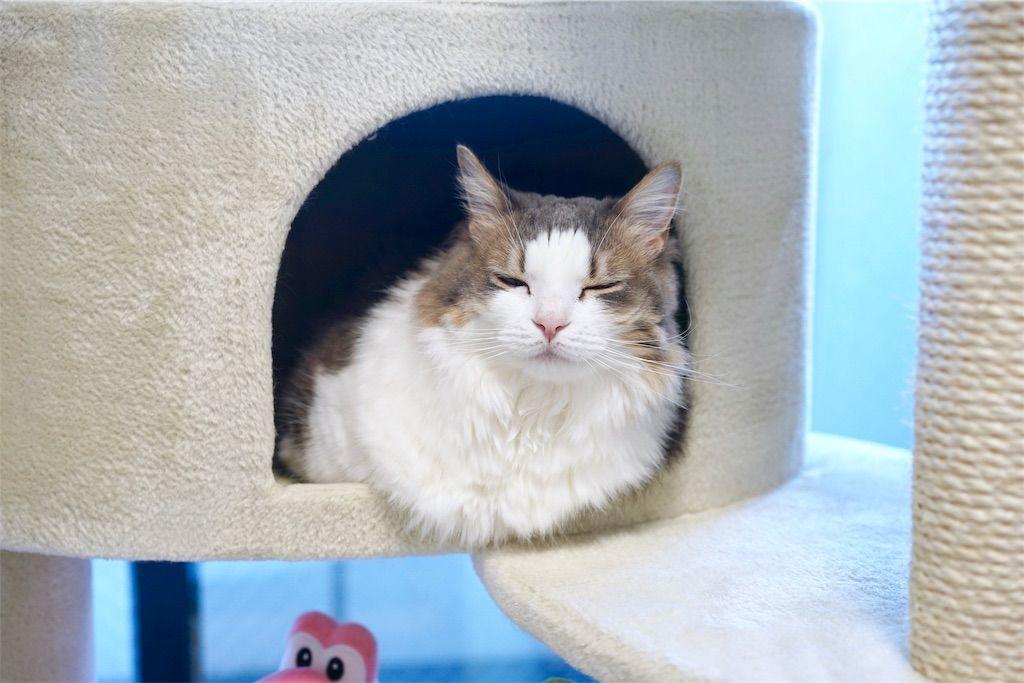 キャットタワーのハウスから顔を出す猫