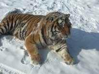 虎林園のトラ