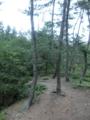 猿ヶ森ヒバ埋没林?