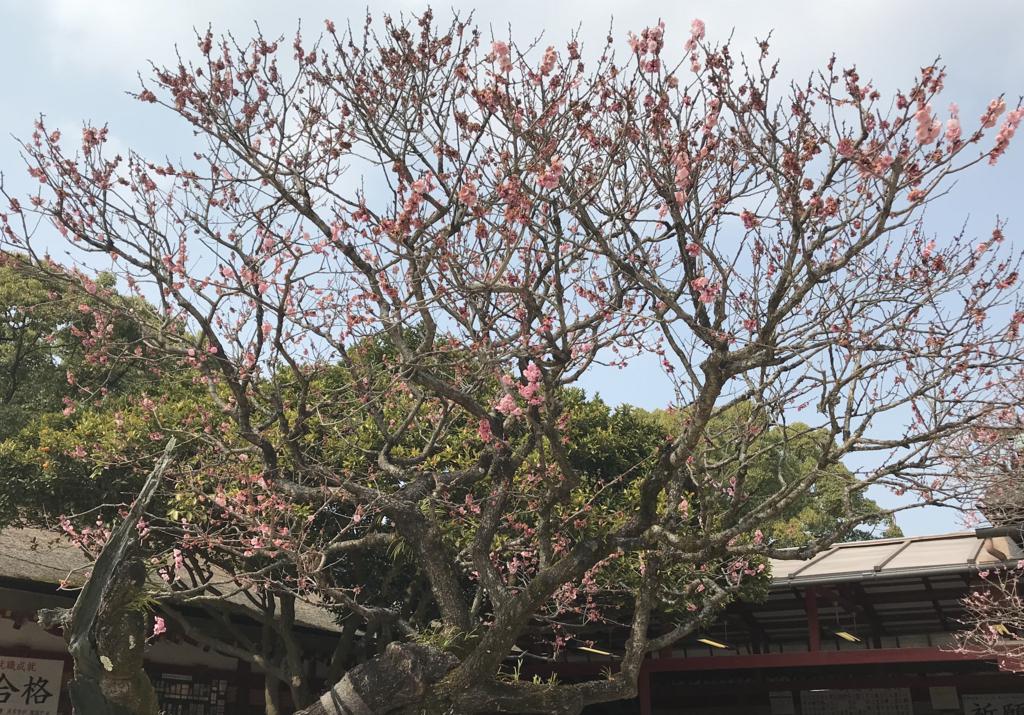 太宰府天満宮の桜2