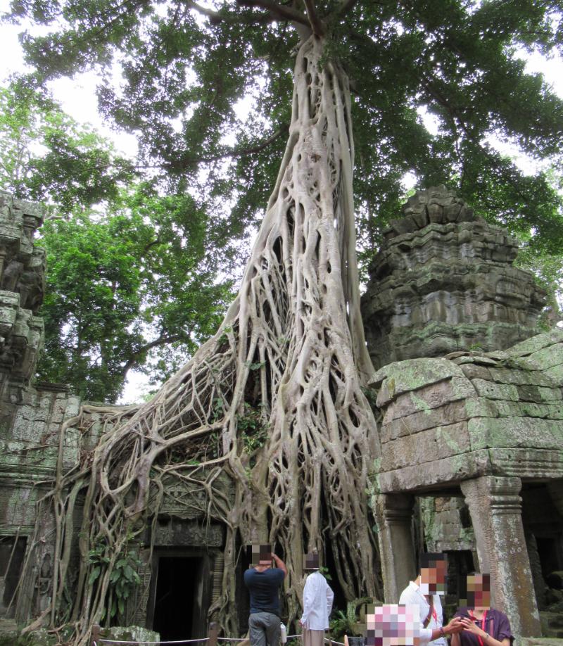 タ・プローム血管のような木